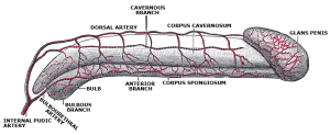 endothelial-lining-erectile-dysfunction